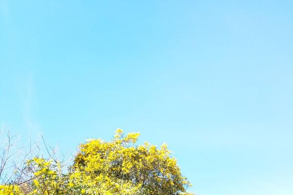 Mimosas en flor (Marzo)